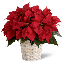 ​Red Poinsettia Planter Send to Philippines