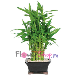 send lucky bamboo plant arrangement to philippines