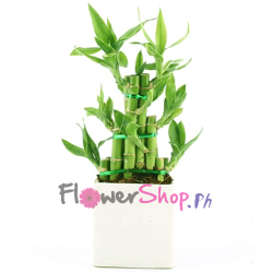 send delight lucky bamboo plant to philippines