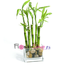 send draconian sanderiana lucky bamboo to philippines