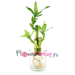 send elegant lucky bamboo plant to philippines