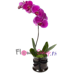 send purple phalaenopsis orchid to philippines