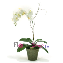 send white orchid plant in pot to philippines