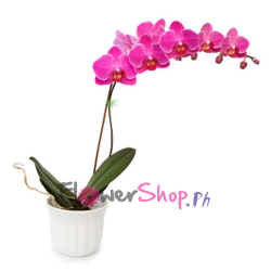 send pink color orchids plant to philippines