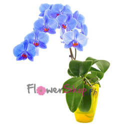 send blue phalaenopsis orchid plant pot to philippines