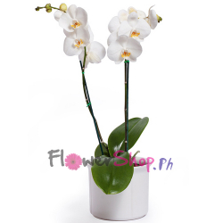 send white phalaenopsis orchid - double stem to philippines
