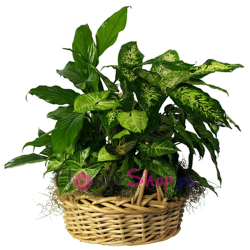 send mixed green plants basket to philippines