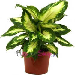 send dieffenbachia camilla plants to philippines