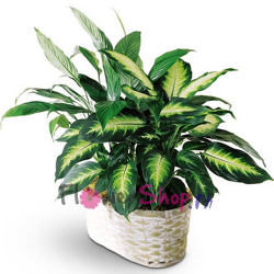 send lush green plant arrangement to philippines