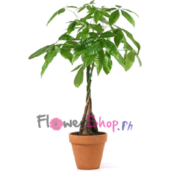 send braided money tree to philippines