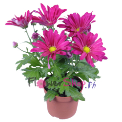 send hot pink daisy plant in pot to philippines